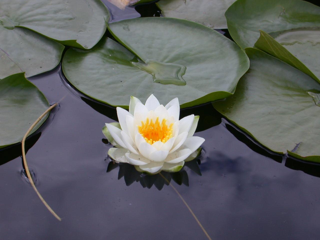 اجمل ورود Lotus_Flower.JPG